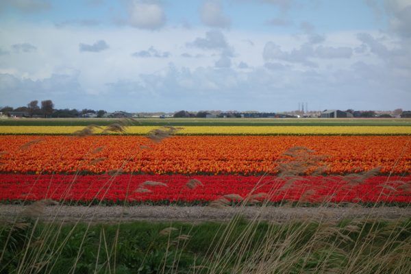 tulpenvelden-julianadorp-noord-holland