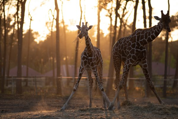 giraffe-safari-resort-beekse-bergen